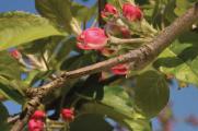 Інновація від MERISTEM - запорука якості та врожайності вашого саду