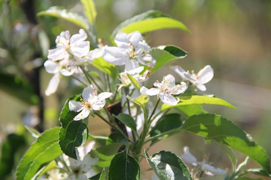 Як захистити сад від спеки і заморозків