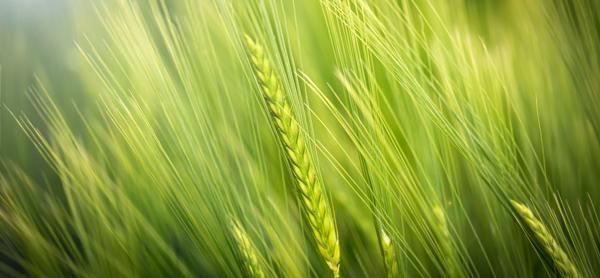 Підживлення польових культур або формуємо урожай відповідально