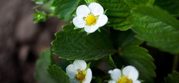 Подкормка ягодных культур - роскошь или необходимость