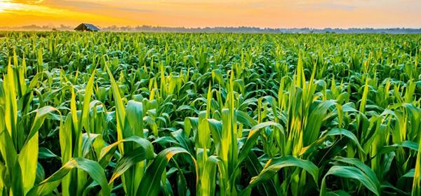Добриво для кукурудзи