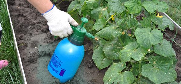 Підживлення для швидкого росту огірків