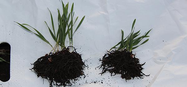 Передпосівна обробка насіння біостимуляторами: застосовувати, не варто ігнорувати