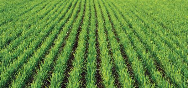 Важные микроэлементы для зерновых культур