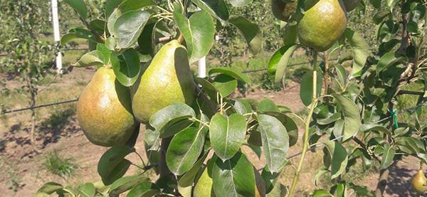 Балансуємо живлення груші